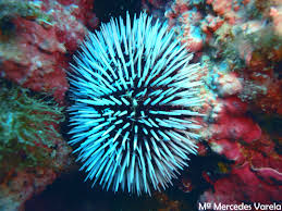 animal marino con puas es el erizo de mar