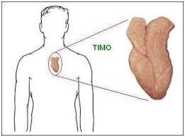 el timo produce células t